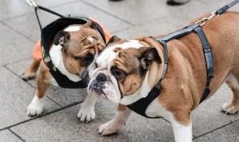 Best Harnesses for Bulldog