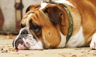 Best Separation Anxiety Toys for Bulldog