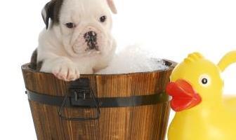 Best Shampoos for Bulldog