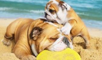 Best Sunscreens for Bulldog