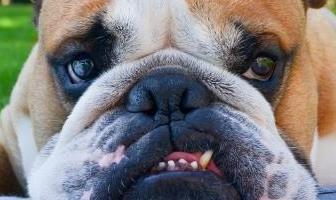 Best Toothpaste for Bulldog