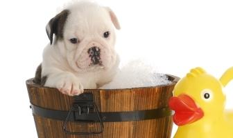 Bathing your Bulldog
