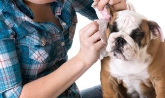 Bulldog ears problems