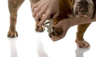 How to cut Bulldog nails